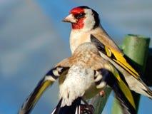 Pássaro no selvagem Imagens de Stock Royalty Free