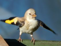 Pássaro no selvagem Fotos de Stock Royalty Free