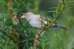 Pássaro no teixo Fotografia de Stock