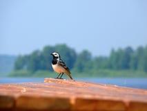 Pássaro no telhado Fotografia de Stock Royalty Free