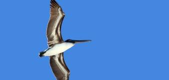 Pássaro no vôo fotografia de stock