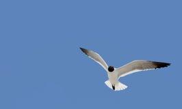 Pássaro no vôo Fotografia de Stock Royalty Free