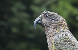Pássaro Nova Zelândia do papagaio de Kea Fotografia de Stock Royalty Free
