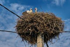 Pássaro novo da cegonha com sua mãe em um grande ninho imagens de stock