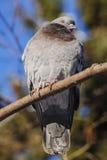 pássaro O pombo senta-se em um ramo Foto de Stock