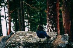 Pássaro ocidental do gaio azul fotografia de stock royalty free