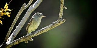 Pássaro ocidental minúsculo imagens de stock royalty free