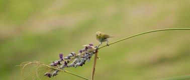 Pássaro oriental do Branco-olho Foto de Stock Royalty Free