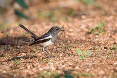 Pássaro oriental do pisco de peito vermelho da pega imagem de stock