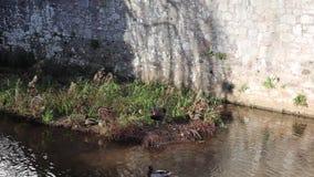 Pássaro original preto e atração turística de Dawlish Devon da cisne video estoque