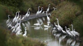 Pássaro, pássaro de Tailândia, espera dos Egrets imagens de stock royalty free