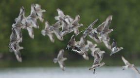 Pássaro, pássaro de Tailândia, pássaros da migração Imagens de Stock Royalty Free
