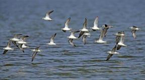 Pássaro, pássaro de Tailândia, pássaros da migração Imagens de Stock