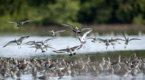 Pássaro, pássaro de Tailândia, pássaros da migração Fotos de Stock Royalty Free