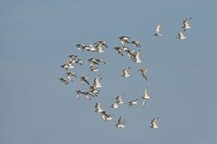 Pássaro, pássaro de Tailândia, pássaros da migração Foto de Stock