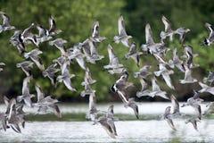 Pássaro, pássaro Dowitcher asiático dos pássaros de Tailândia, de migração e limosa de cauda negra Fotografia de Stock