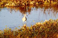 Pássaro pagado luz Bolsa Chica Wetlands California do trilho da válvula foto de stock royalty free