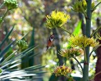 Pássaro pairando Fotografia de Stock Royalty Free