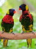 Pássaro, par de Lorikeet Imagens de Stock
