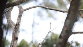 Pássaro--paraíso de Raggiana filme