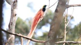 Pássaro--paraíso de Raggiana vídeos de arquivo