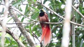 Pássaro--paraíso de Raggiana video estoque