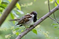 Pássaro - pardal de casa que chilra no ramo Foto de Stock