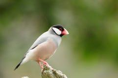 Pássaro --- pardal de java foto de stock royalty free