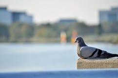 Pássaro pelo lago da cidade Imagens de Stock Royalty Free