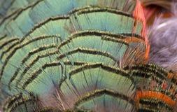 Pássaro - penas do galo Fotografia de Stock