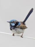 Pássaro pequeno bonito - malurus Foto de Stock Royalty Free