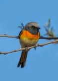 Pássaro pequeno de Minivet imagem de stock