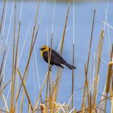Pássaro pequeno do quadrado que empoleira-se em uma grama marrom magro que cresça em torno de um lago fotografia de stock