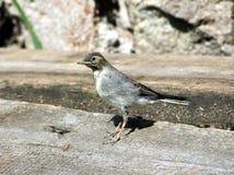 Pássaro pequeno do yound na terra Fotografia de Stock