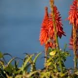Pássaro pequeno do zumbido que hoovering sobre flores alaranjadas brilhantes fotografia de stock royalty free