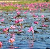 Pássaro pequeno em uma flor no mar vasto da tampa do lírio de água vermelha a superfície de cristal do lago Nongharn Fotos de Stock