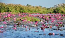 Pássaro pequeno em uma flor no mar vasto da tampa do lírio de água vermelha a superfície de cristal do lago Nongharn Imagens de Stock