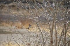 Pássaro pequeno empoleirado nos ramos de uma Aspen estéril imagem de stock royalty free