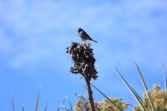 Pássaro pequeno na garganta de Colca nos Andes Arequipa Perú imagens de stock