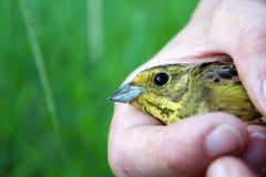 Pássaro pequeno nas mãos foto de stock