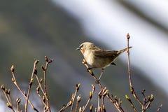 Pássaro pequeno, parva de peito encarnado de Ficedula do papa-moscas que senta-se no ramo Pen?nsula de Kamchatka, R?ssia fotos de stock royalty free