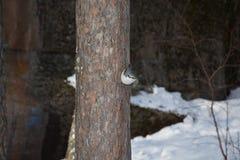 Pássaro pequeno - pica-pau-cinzento Foto de Stock Royalty Free