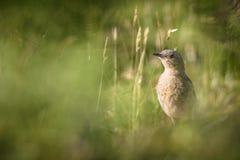 Pássaro pequeno que banha-se no campo ensolarado Foto de Stock Royalty Free