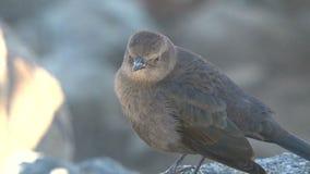 Pássaro pequeno que faz o ruído Westcoast, Califórnia, Estados Unidos vídeos de arquivo