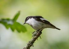 Pássaro pied europeu do papa-moscas fotos de stock royalty free
