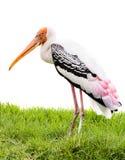 Pássaro pintado da cegonha fotos de stock royalty free