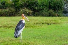 Pássaro pintado da cegonha Imagem de Stock