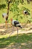 Pássaro pintado da cegonha imagem de stock royalty free