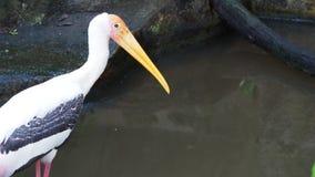 Pássaro pintado grande da cegonha que está na rocha que espera para caçar pela lagoa de peixes vídeos de arquivo