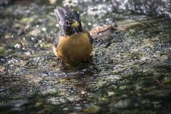 Pássaro - pisco de peito vermelho que banha-se no córrego Fotos de Stock Royalty Free